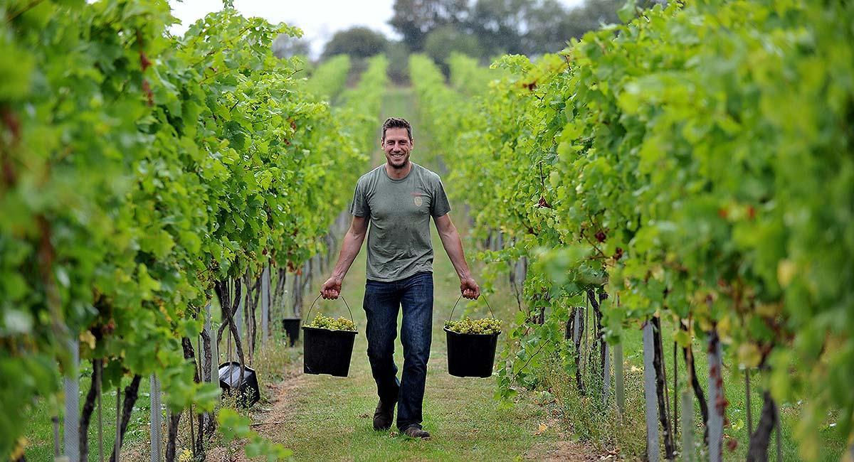 RAU grape harvest
