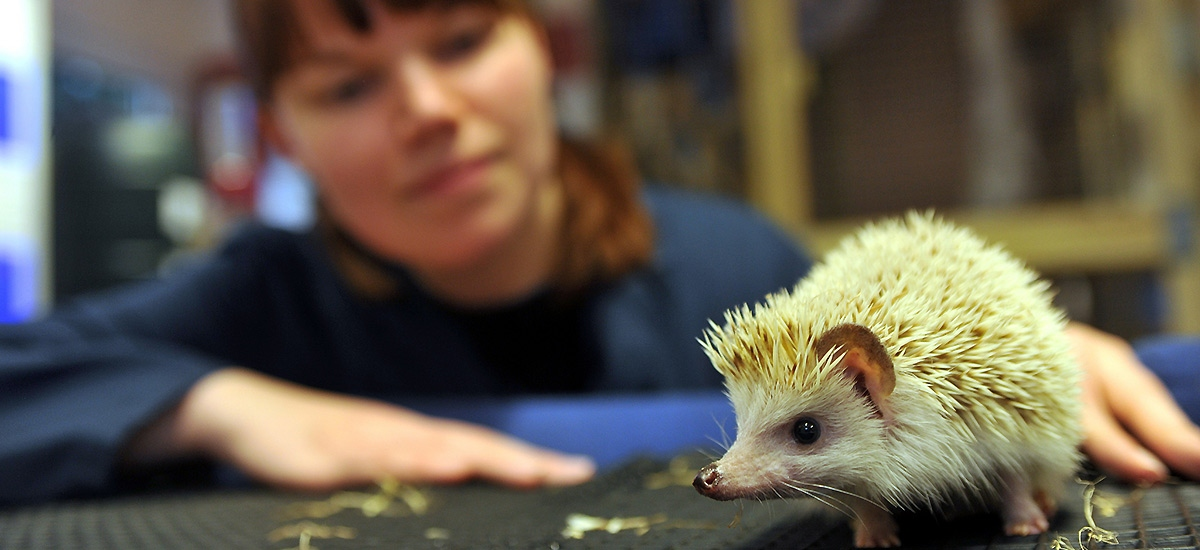 A hedgehog being investigated