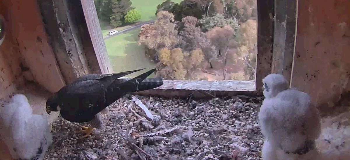Peregrine falcons in nest