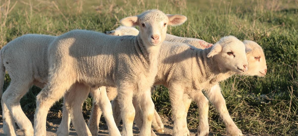 Lambing weekend at RAU farm on 17 and 18 March 2018